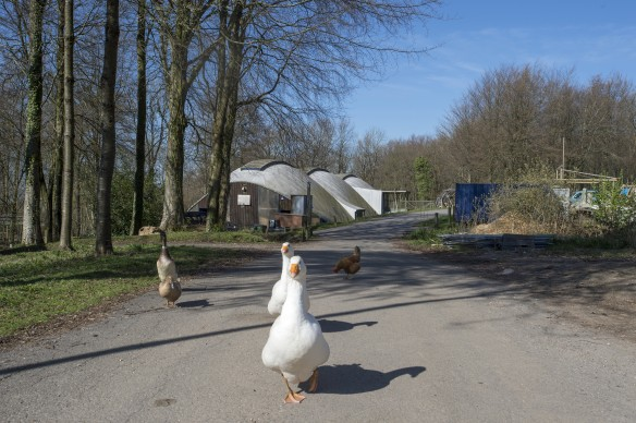 Hooke_Geese_Ducks_Chickens_Workshop_VB_2014_04_10_21